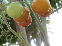もうすぐ食べ頃のミニトマト