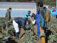 ブロッコリーの収穫